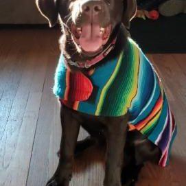 Coco Labrador