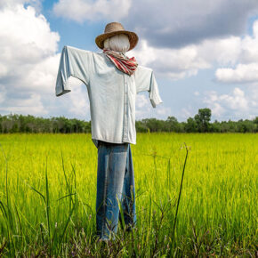 Scarecrow strawman in the rice field